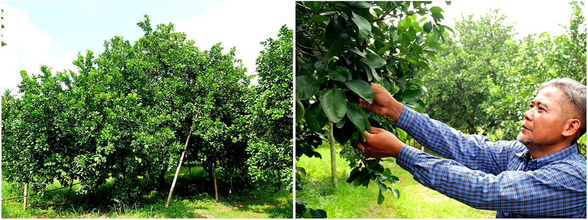 เทคนิคการดูแลต้นส้มโอให้สมบูรณ์ของคุณวิฑูรย์